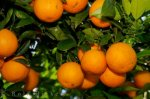 valencia-oranges-spain_12927